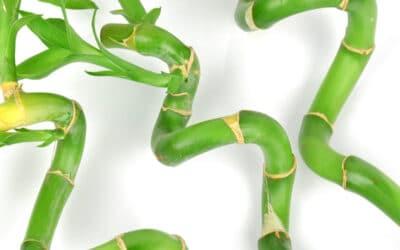 Onnenbambu Lucky bamboo