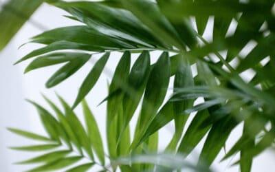 Palmut puhdistavat sisäilmaa