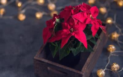 Joulutähti on joulun kestosuosikki