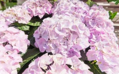Muhkeat hortensiat – katso hoito-ohjeet