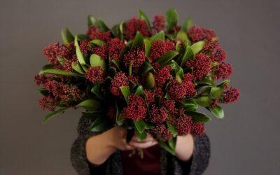 Skimmia – Marraskuun kukka