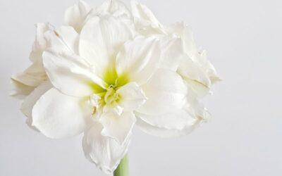 Upea amaryllis maljakossa