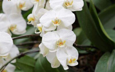 Perhoskämmekät – Phalaenopsis