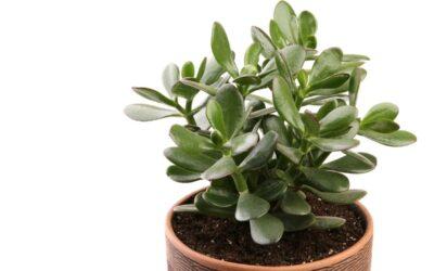 Helppohoitoiset viherkasvit – nämä kasvit pärjäävät vähällä hoidolla