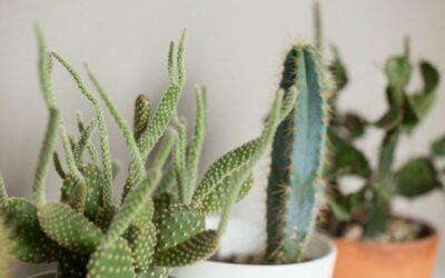 Kaktus – Kuivuuden kuningas