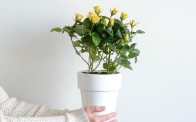 Kohti keltaista – Pääsiäisen aurinkoiset ruukkukukat ihastuttavat pirteydellään, mikä on sinun suosikkisi?