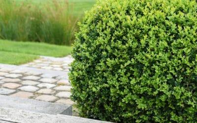Raikas vihreä puksipuu