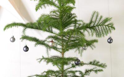 Huonekuusi joulupuuna