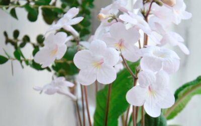 Kuukauden kotimainen kasvi on suloinen ja ihana soilikki – lue hoitovinkit