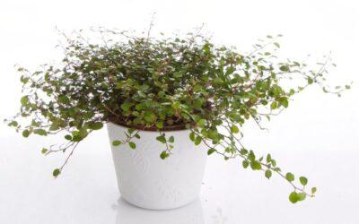 Lankaköynnös – kepeä viherkasvi