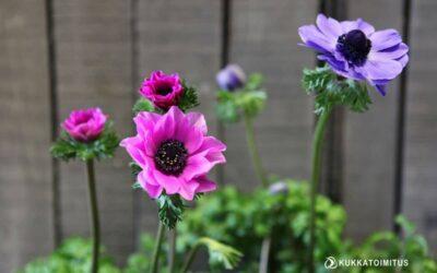 Kruunuvuokko – Anemone coronaria