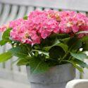 Kuukauden kotimainen kasvi on hurmaavasti kukkiva hortensia – lue hoitovinkit