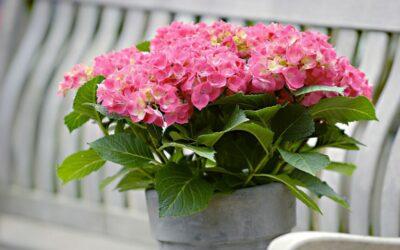 Hurmaavat hortensiat