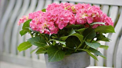 Kuukauden kotimainen kasvi on hurmaavasti kukkiva hortensia - lue hoitovinkit