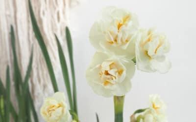 Perunanarsissi kukkii kauniisti – näillä hoitovinkeillä saat sen loistamaan pidempään