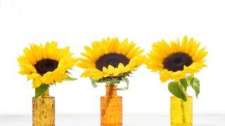 Auringonkukkien kasvatus ja hoito on helppoa