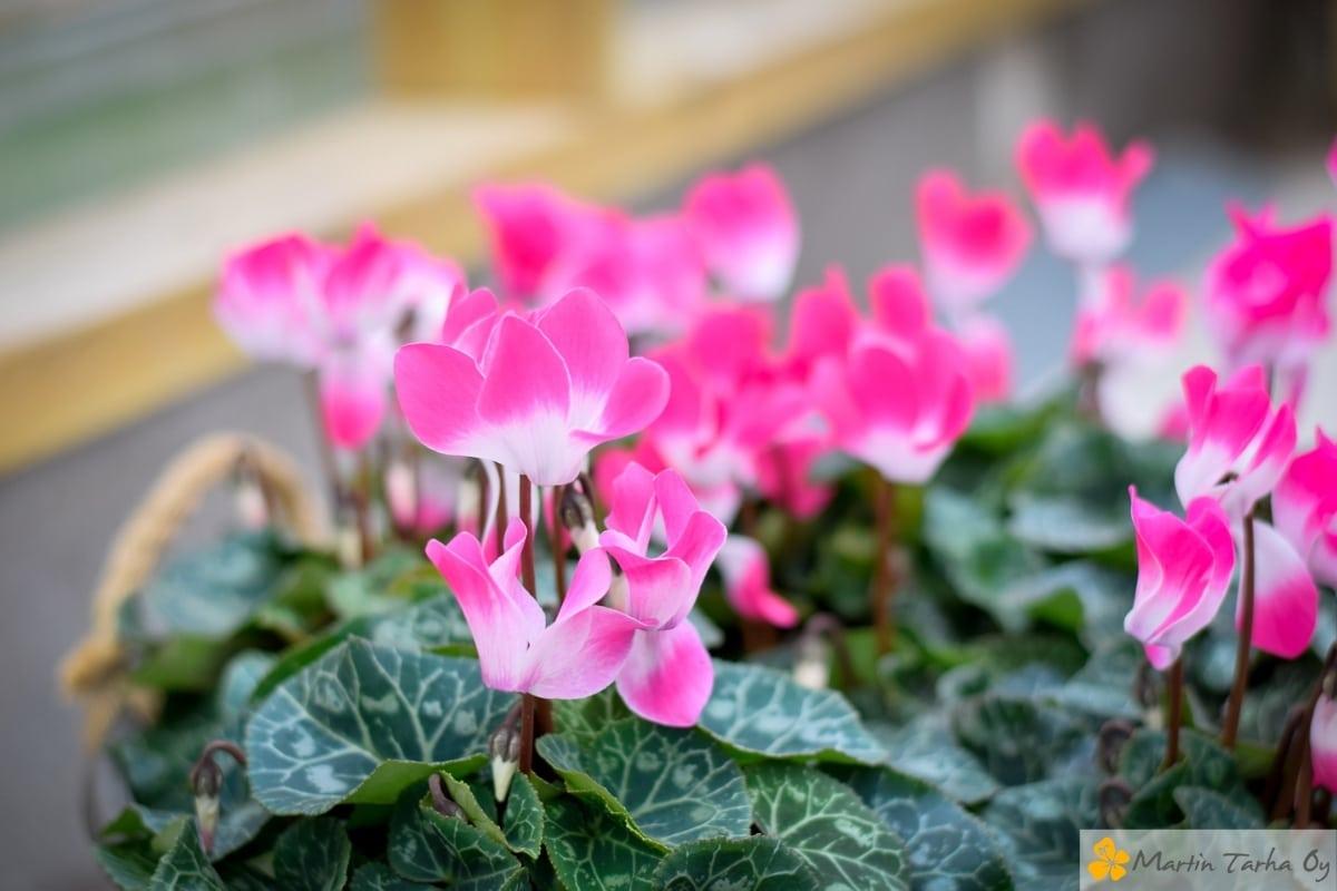 Syksyn pinkit kukat