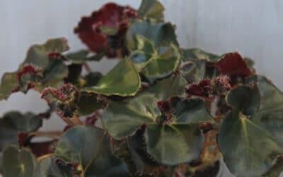 Tumma lehtibegonia – tämä kasvi tuo sisustukseen kontrastia
