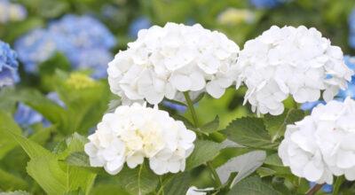 Hurmaava hortensia