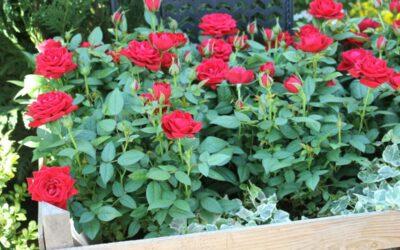Ruusuja äitienpäiväksi!
