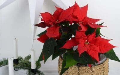 Perinteiset joulukukat