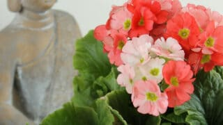Tuo aurinko kotisi sisustukseen keväisillä kukkivilla ruukkukasveilla - katso vinkit ja hoito-ohjeet
