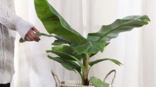Upeita lehtimuotoja ja värejä - katso vinkit isojen viherkasvien valintaan sisustuksessa