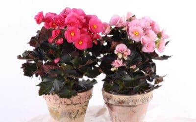 Begonia Adonia on kukkaystävän must have – kaksi hurmaavaa värivaihtoehtoa