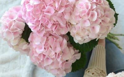 Hortensia leikkokukkana – tiesitkö tämän niksin, jolla saat nuupahtaneen hortensian elpymään?