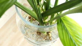 Viherkasvin kasvattaminen vedessä - viirivehka sopii mainiosti myös maljakkoon