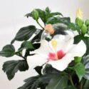Sukella trooppiseen maailmaan ja hanki ikkunalaudallesi ihana kiinanruusu