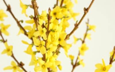 Keltainen kuin aurinko – ihana onnenpensas kukkii runsaasti ja on todella kestävä