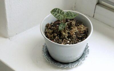 Säväyttävät jalokiviorkideat – lue hoito-ohjeet!