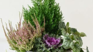 Syysvihreät täydentävät kukkaistutuksen - tunnistatko nämä kasvit?