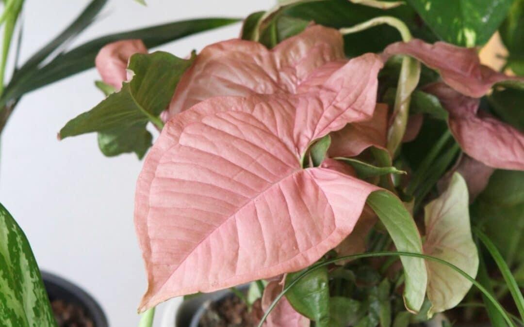 vaaleanpunaiset viherkasvit