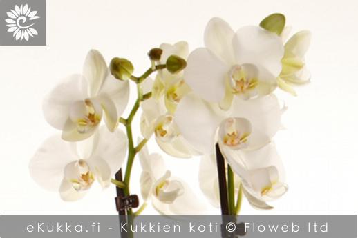 Valkoinen orkidea kuuluu nykyjouluun!