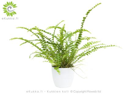 Sulkasaniainen Nephrolepsis cordifolia kukkien hoito viherkasvit