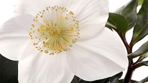 Jouluruusu Helleborus niger Christmas star kukinto pieni artikkelikuva