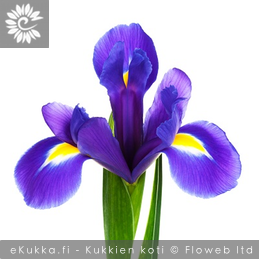 Hollanninkurjenmiekka (Iiris), Iris x hollandica