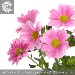 Krysanteemi Chrysanthemum x grandiflorum yleisimmät leikkokukat