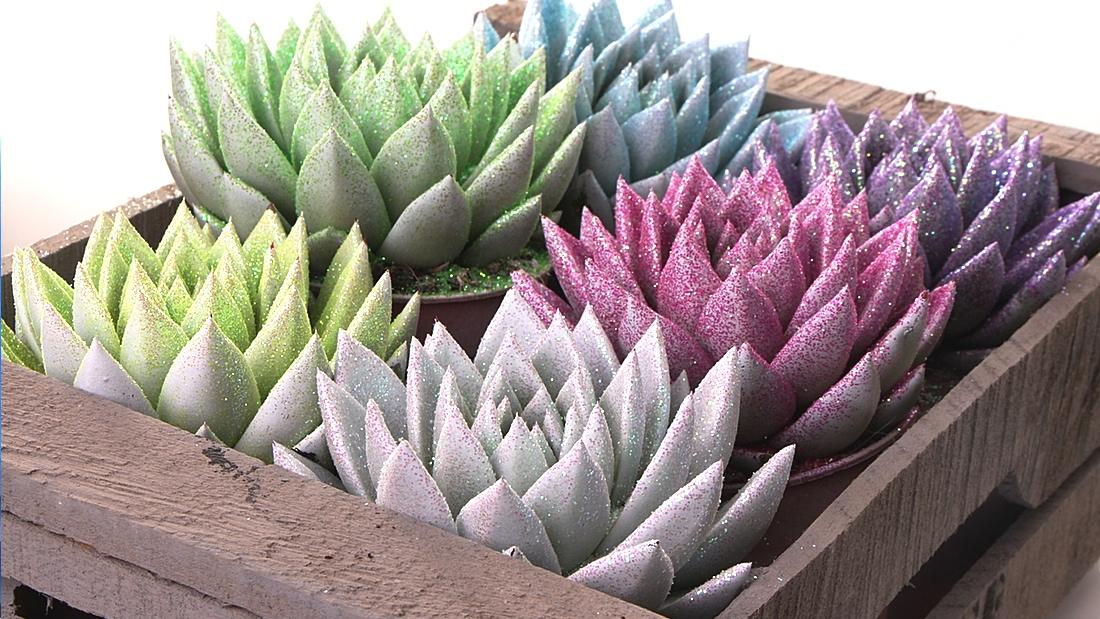 Mehiruusuke Echeveria Miranda glitter kimaltavat kukat puulaatikossa
