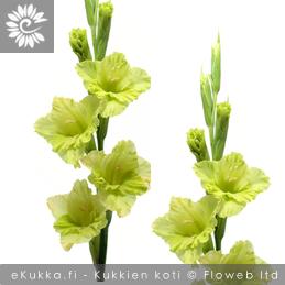 Miekkalilja Gladiolus yleisimmät leikkokukat