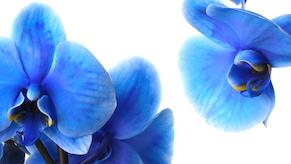 Sininen Phalaenopsis orkidea pieni artikkelikuva