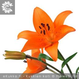Tarhasarjaliljat Lilium Hollandicum-ryhmä yleisimmät leikkokukat