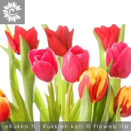 Tulppaani (Tarhatulppaani), Tulipa gesneriana