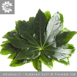 Huonearalia, Fatsia japonica