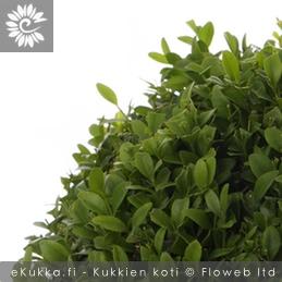 Puksipuu Buxus