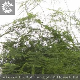 Unelma - plumosus - Asparagus setaceus